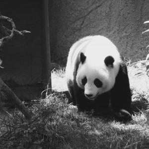 BW Panda